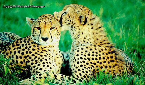 Safari photo tanzanie voyage Zanzibar. Les guépards amoureux Serengeti Tanzanie. Safari tanzanie classique