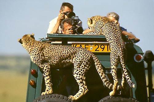 guépard Serengeti Safari en tanzanie