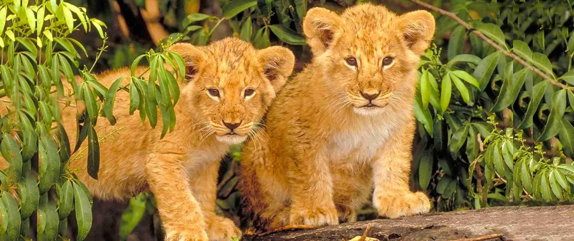 Lions en Tanzanie. Safari Tanzanie en promotion et pas cher