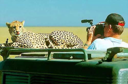 Guépard safari éco-solidaire en tanzanie