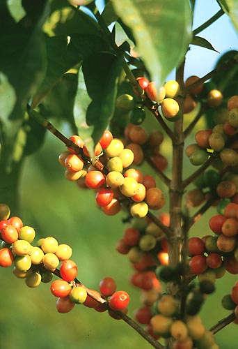 Plantations de café. Safari en promotion pas cher en Tanzanie
