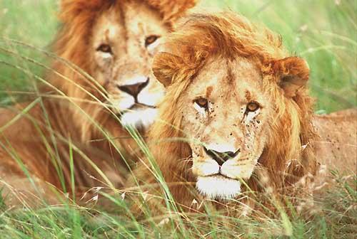Lions Manyara Safari en promotion pas cher en Tanzanie